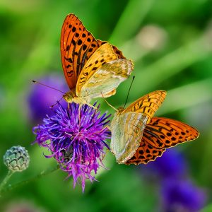 Bright yellow butterflies on a purple flower against a green background