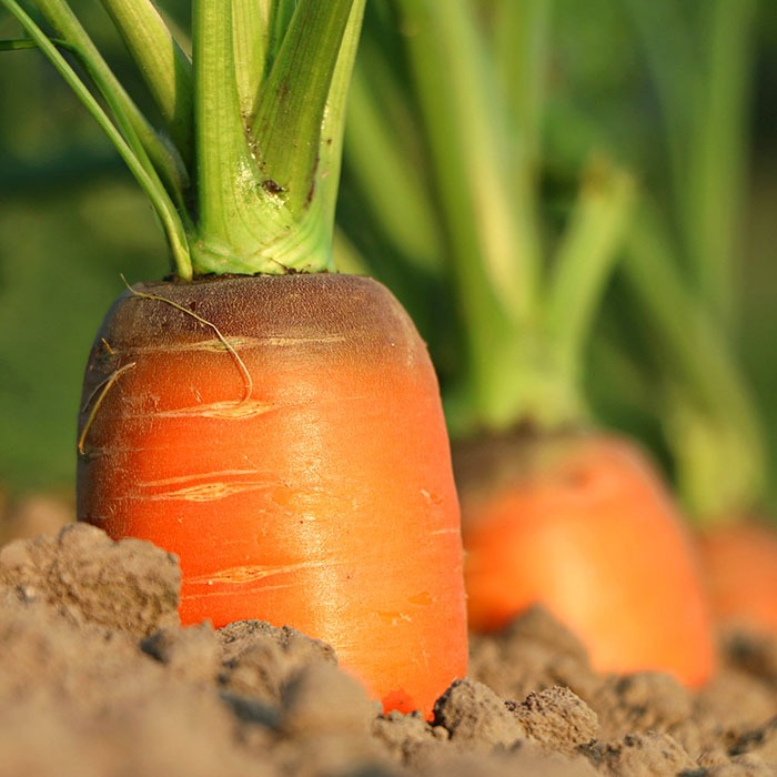 Carrots in a garden ready for plucking